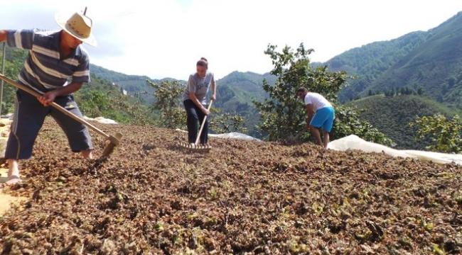 Fındık üreticisi en az 13 lira fiyat bekliyor