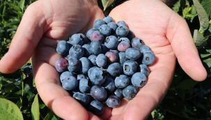 Ordu'da Çiftçilere Mavi Yemiş Dağıtıldı