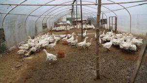 Kaz Çiftliklerinin Kapasitesi Arttı