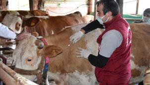Büyükşehirden Hayvanlara Şap Aşısı